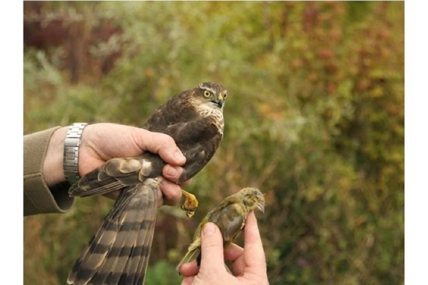 623_Sparrowhawk20and20dead20greenfinch_Robert20Fuller-ce0c8f1
