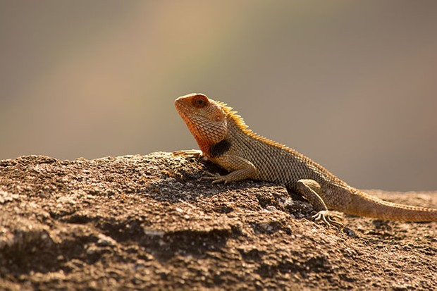 Bearded dragons occur in arid and semi-arid areas of Australia. © Mahesh Puranik/iStock