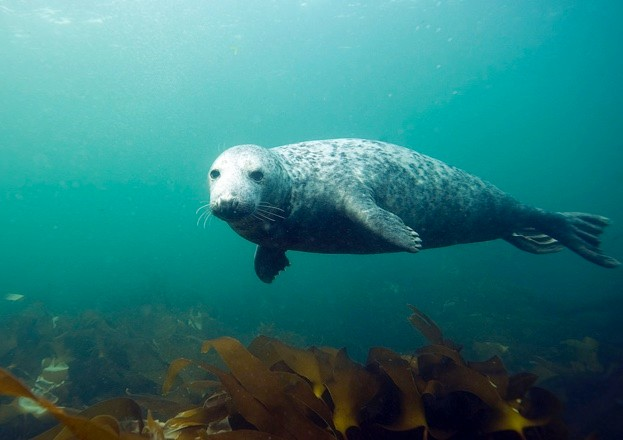 Last year's ZSL seal survey counted 451 harbour seals and 454 grey seals (pictured) in the Thames Estuary. © Dan Kitwood/Staff/Getty