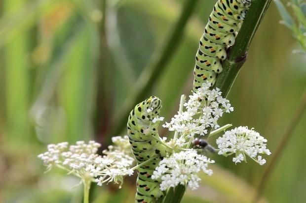 A-pair-of-swallowtail-caterpillars-_623-1f50232