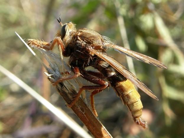 A.crabroniformis_623-86497f8