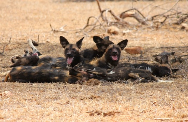 A20pack20of20wild20dogs20in20Kenya20-20credit2027ZSL_Helen20O27Neill27_623-baad698