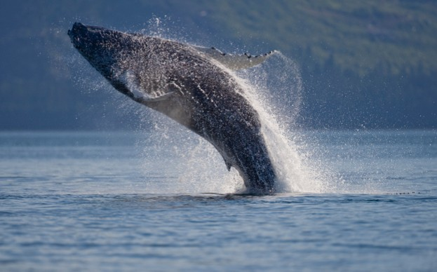 USA, Alaska, Hoonah, Humpback Whale (Megaptera novaengliae) breaching in Icy Strait on summer afternoon
