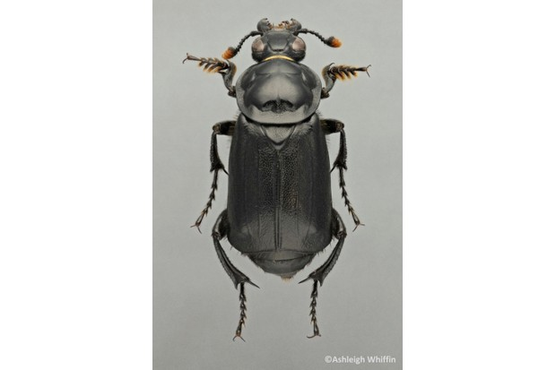 AW20Nicrophorus20humator_623-fe170b9
