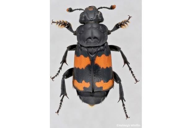 AW20Nicrophorus20investigator_623-6bd9755