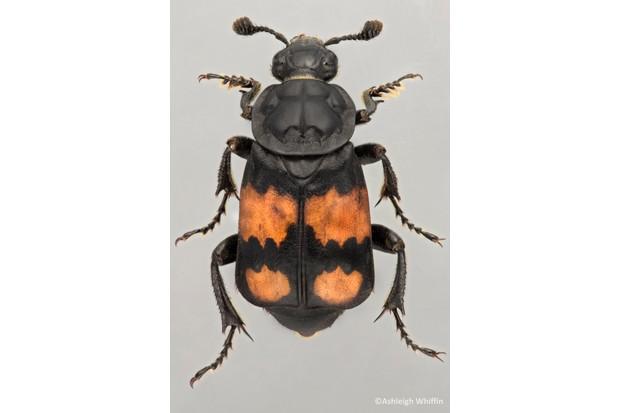 AW20Nicrophorus20vespilloides_623-9e1eb8d