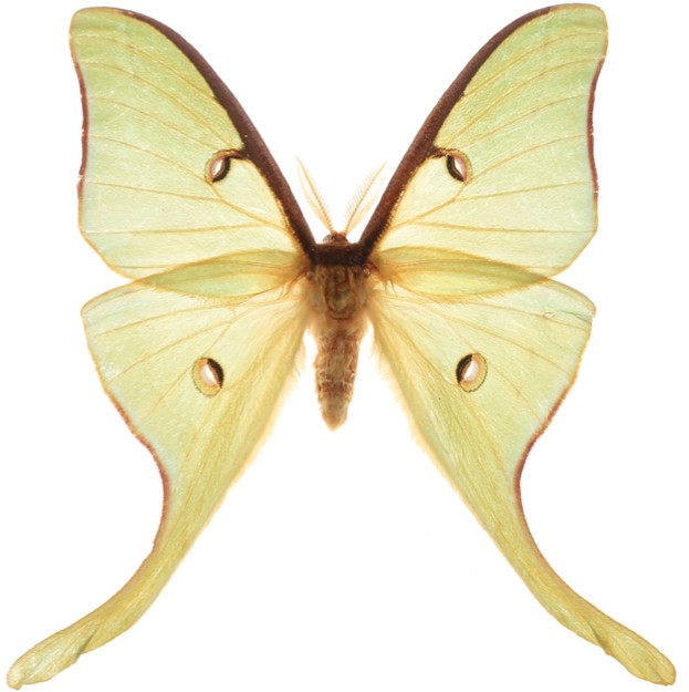 The luna moth Actias luna was one of the silk moth species studied by the researchers © Geena Hill / Florida Museum