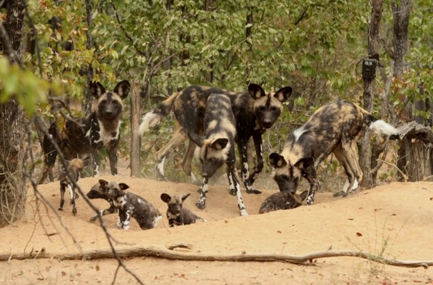 Adult20wild20dogs20with20pups20in20Zimbabwe20-20credit2027ZSL_Rosemary20Groom27_623-04dda9c