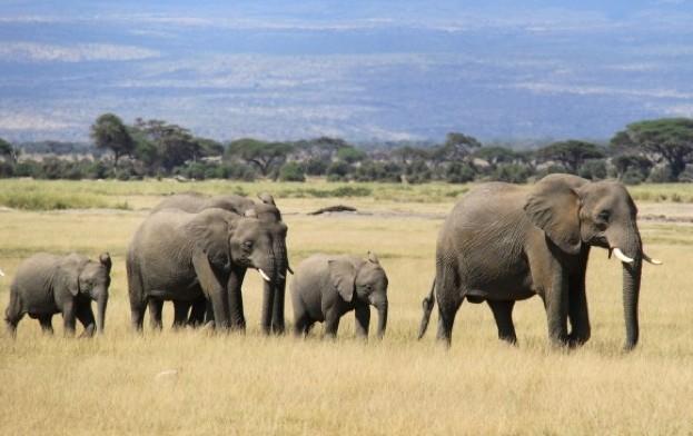 African-elephants_623_J-Fomkina-489661f