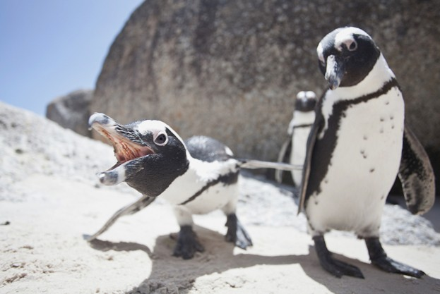 African-penguins_Mike-Korostelev_Getty_623-7a22545