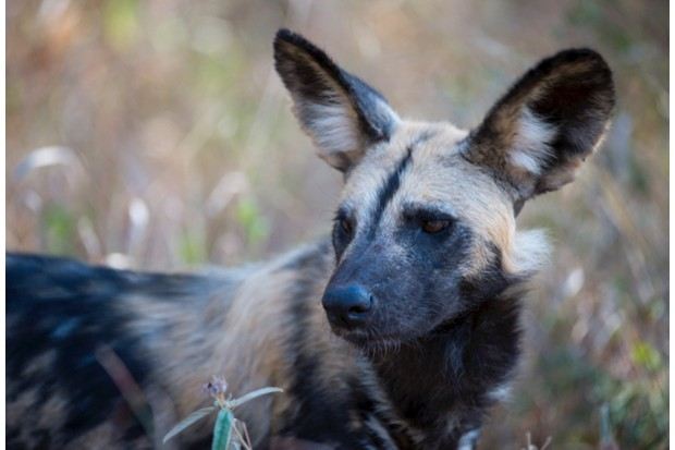 SOUTH AFRICA - 2014/06/02: Close-up of African wild dog (Lycaon pictus) at the Sabi Sands Game Reserve adjacent to the Kruger National Park in South Africa. (Photo by Wolfgang Kaehler/LightRocket via Getty Images)