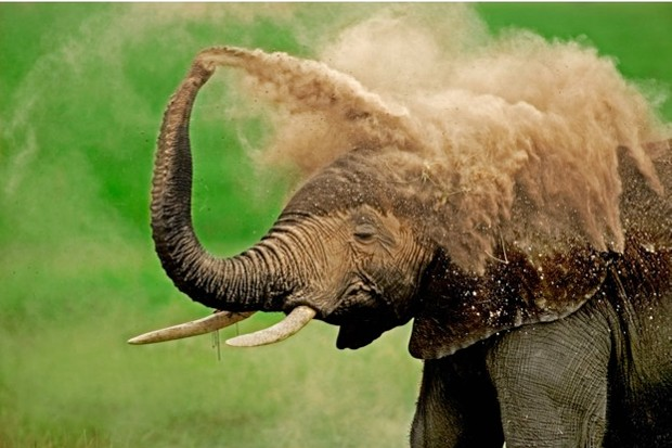 The report found that the African elephant population has crashed by an estimated 111,000 in the past decade primarily due to poaching. © Martin Harvey / WWF