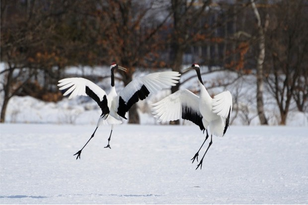 Red-crowned cranes dancing display © Alexandre Shimoishi / Getty