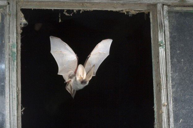 Studies suggest bats play a crucial role in pest control © Nill / ullstein bild / Getty