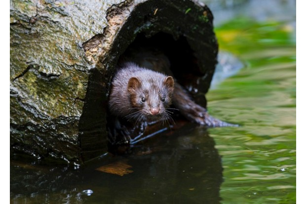 American mink (Neovison vison / Mustela vison), mustelid native to North America in hollow tree trunk on river bank