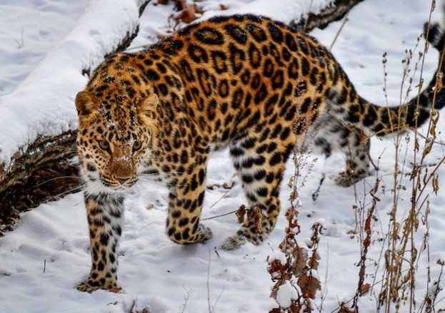 Amur-leopard_January-2018_623-a9fb609