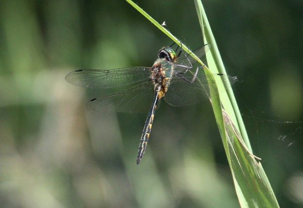 The yellow-spotted emerald dragonfly has never been recorded in Britain until now © Andrew Easton