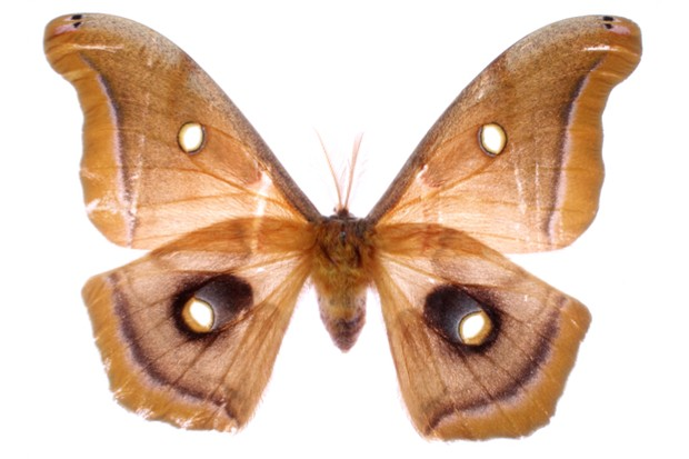 The Polyphemus moths Antheraea polyphemus feature another anti-predator illusion - prominent eyespots on their hindwings © Kawahara Lab / Florida Museum