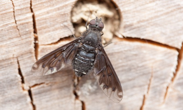 Black bee-fly discovered in the UK for the first time © Rob Mills
