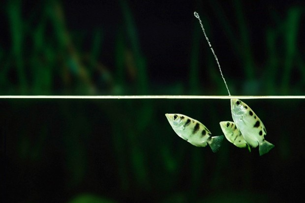 Researchers have been studying the behaviour of archerfish © Warren Photographic