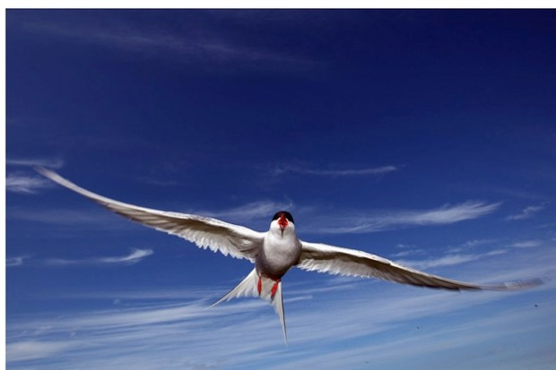 An Arctic tern dives down to protect its nest on Inner Farne, England. © Dan Kitwood/Getty