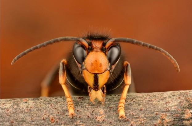 Asian-hornet-1-_-623-67f885d