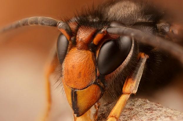 Asian-hornet-2-_-623-544549e