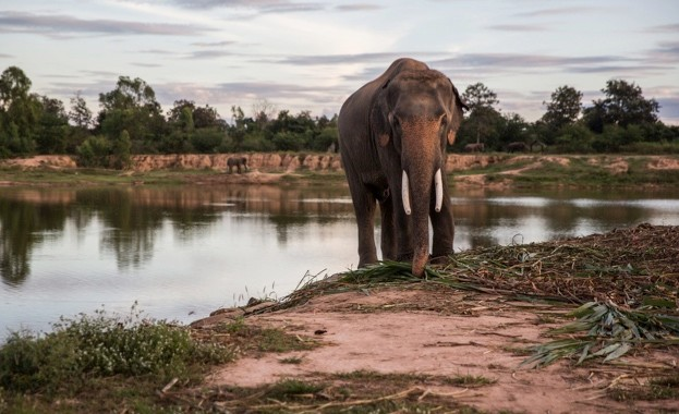 An elephant stands near a lake at Ban Ta Klang Elephant Village, Surin province, Thailand, on Saturday, Nov. 26, 2016. Ever since the craze for Kopi Luwak, an Indonesian coffee originally made from part-digested beans defecated by wild palm civets, began more than a decade ago, coffee connoisseurs have sought unusual ways to make the perfect brew. Black Ivory Coffee Founder Blake Dinkin uses elephants to process his beans. The resultant coffee can be bought online at approximately $1,900 a kilogram. Photographer: Taylor Weidman/Bloomberg via Getty Images