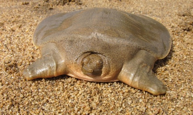 Asian20giant20softshell20turtle20hatchling20CREDIT20Yoeung20Sun20WCS_623-5eafc33