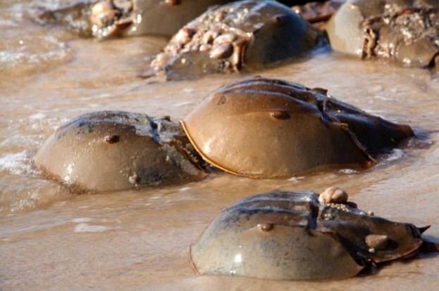 AtlanticHorseshoeCrabs_Aneese_iStock_0-56f2db4