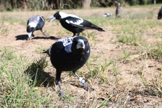 Australian-magpie-1-0305331