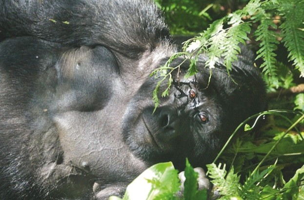 Gorilla ©John J King II