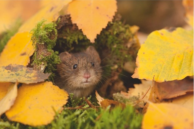BBC20autumn20Bank20Vole20autumn2015-11-0820RAW_0009_CMYK_Paul20Hobson-98f94f1