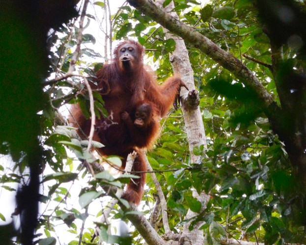 A baby orangutan clings tightly to its mother in the canopy near Nanga Sumpa longhouse.