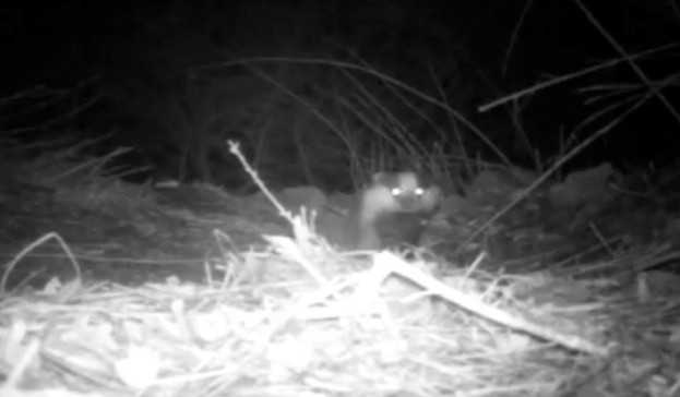 Badger-video_623-9441417