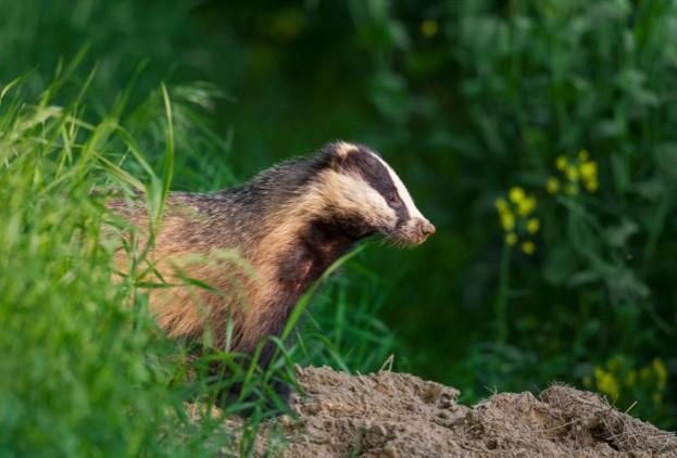 European badger (Meles meles) leaving its den / sett in meadow in summer