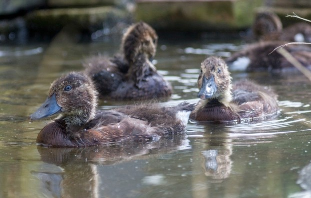 Why this duck is rarer than a panda - Discover Wildlife