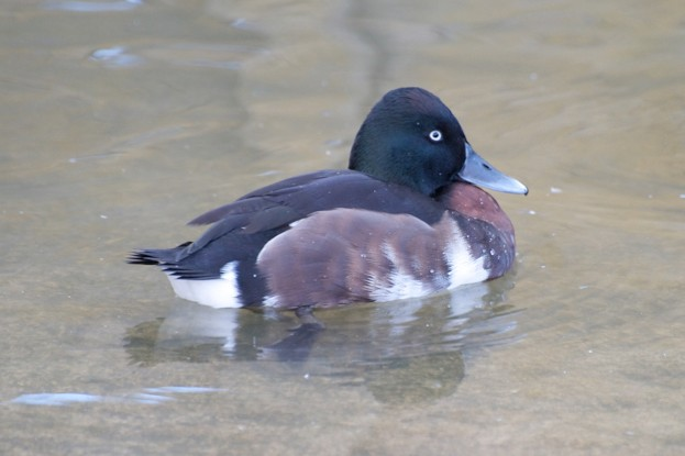 Male Baer's Pochard (captive)