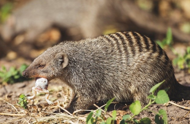 The banded mongoose (Mungos mungo) is a mongoose commonly found in the central and eastern parts of Africa. It lives in savannas, open forests and grasslands and feeds primarily on beetles and millipedes.