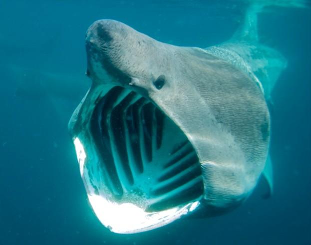 Basking shark feeding of the Cornish Coastline. Cornwall. UK