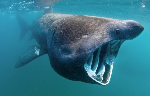 Basking shark behaviours are being studied by scientists© Alex Mustard
