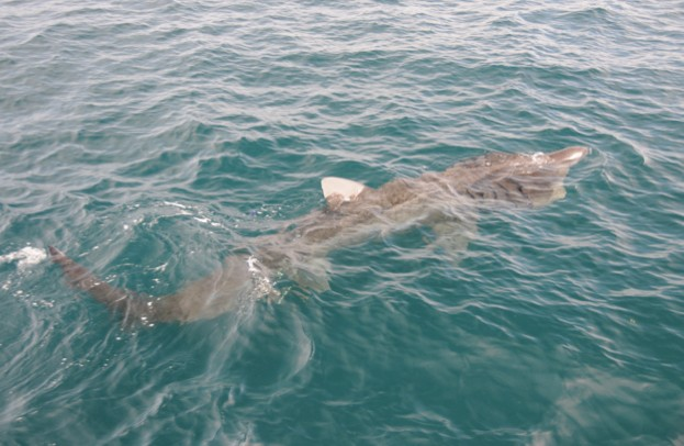 Basking sharks are the second largest shark in the world (the largest is the whale shark). © SNH