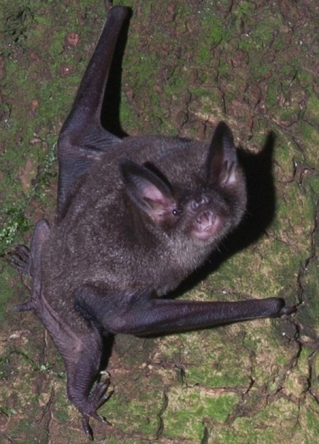 The New Zealand lesser short-tailed bat © David Mudge