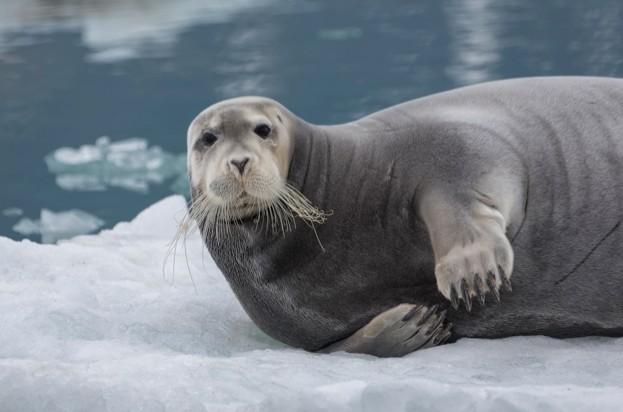 Bearded-seal-on-an-iceberg-in-Svalbeard-Norawy.-Fabrice-Guerin_Getty_623_0-f02791a