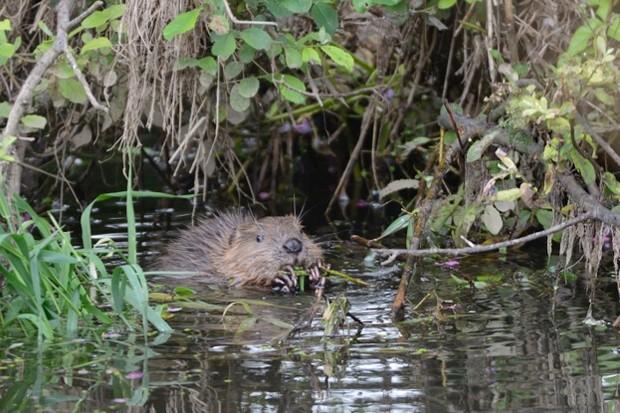 Beaver-1-_-Nick-Upton-_-623_0-9b68c8a