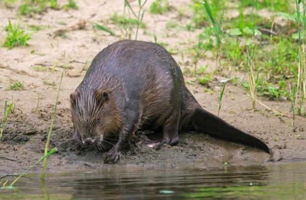 Eurasian beaver / European beaver (Castor fiber) foraging along riverbank