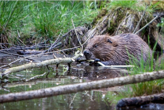 Beaver-at-Loch-of-the-Lowes-2-_-Ron-Walsh-623-22c8906
