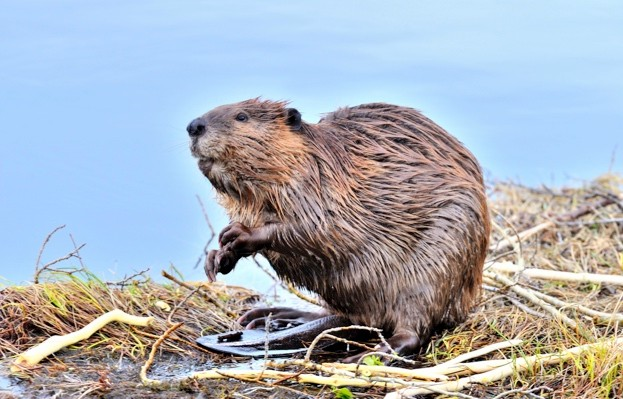 A side view  image of an adult beaver 'Castor canadesis'  sitting looking around from the edge of his pond.