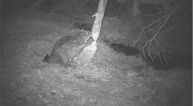 Beaver-video-screenshot_623-c57af19