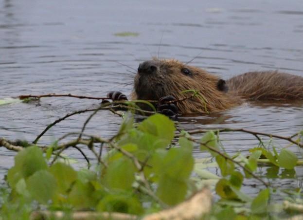 Beaver_Ian-Sargent_623-4f0cb0a
